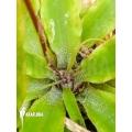 Bromeliad 'Fosterella rusbyi'