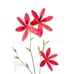 Freesia grandiflora flower