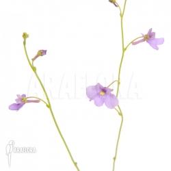 Genlisea violacea