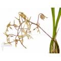 Orchid 'Gongora species.'