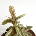 Juwel Orchid 'Goodyera pusilla'