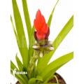 Bromeliad 'Guzmania monostachia'