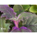 Gynura aurantiaca Purple passion plant