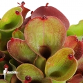 Heliamphora (Sun pitchers)