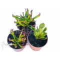 Sun pitcherplant 'Heliamphora starter set 3 plants'
