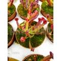 Sun pitcherplant 'Heliamphora heterodoxa starter