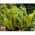 Sun pitcherplant 'Heliamphora heterodoxa 'Gran sabana'