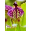 Sun pitcherplant `Heliamphora macdonaldae'