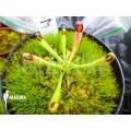 Sun pitcherplant 'Heliamphora macdonaldae starter