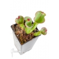Sun pitcherplant 'Heliamphora macdonaldae XL non tc clone C'