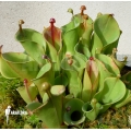 Sun pitcherplant 'Heliamphora minor'
