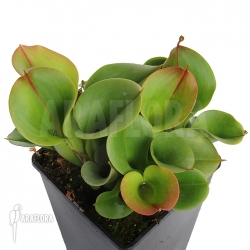 Heliamphora minor 'Giant' 'Auyan' 'L'
