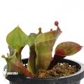 Sun pitcherplant 'Heliamphora minor 'Giant' 'Auyan' 'M'