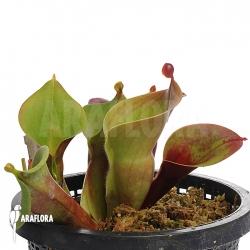 Heliamphora minor 'Giant' 'Auyan' 'M'