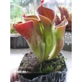 Sun pitcherplant `Heliamphora minor (Auyan)'