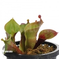 Sun pitcherplant `Heliamphora minor 'Giant' (Auyan' (M)'