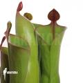 Sun pitcherplant `Heliamphora neblinae var. parva (04H13)'