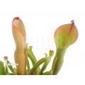 Sun pitcherplant `Heliamphora nutans (L)'