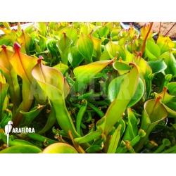 Heliamphora nutans adult plant