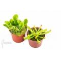 Sun pitcherplant heliamphora starter set 2 plants