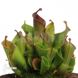 Heliamphora x heterodoxa x minor 'XL'