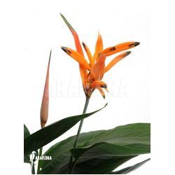 Heliconia psittacorum