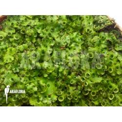 Hepatophyta moss