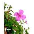 Heterocentron elegans Rose