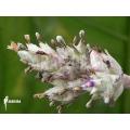Bromeliad 'Hohenbergia leopoldo horstii'