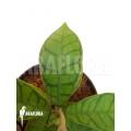 Hoya callistophylla 'leafcutting'