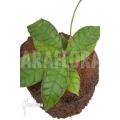 Hoya callistophylla 'L'