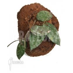 Hoya caudata 'leafcutting'