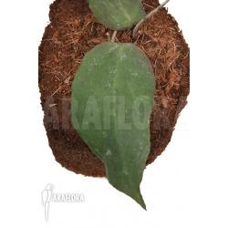 Hoya caudata (big leaf)
