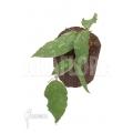 Hoya caudata silver