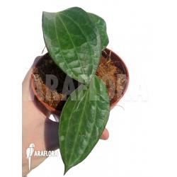 Hoya clandestina 'leafcutting'