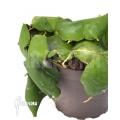Hoya imbricata Green 'leafcutting'