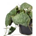 Hoya imbricata Maxima 'leafcutting'