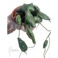 Hoya imbricata  'leafcutting'