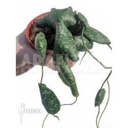 Hoya imbricata