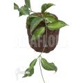 Hoya kenejiana albomarginata 'leafcutting'