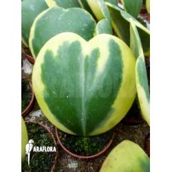 Hoya kerrii variegata 'Starter'
