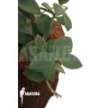 Hoya nummularioides 'M'