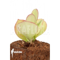 Hoya pachyclada 'Pink Leaf'