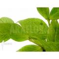 Hoya polyneura 'Fishtail Hoya'