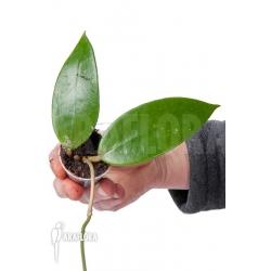 Hoya sp 27 Dien Bien 'Starter'