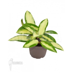 Hoya verticilata variegata 'leafcutting'