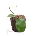 Hoya vitellina 'leafcutting'