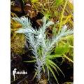Huperzia (syn: Lycopodium) goebelii