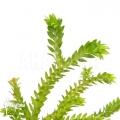 Huperzia (syn: Lycopodium) phlegmaria