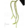 Huperzia (syn: Lycopodium) phlegmaria' 'L'